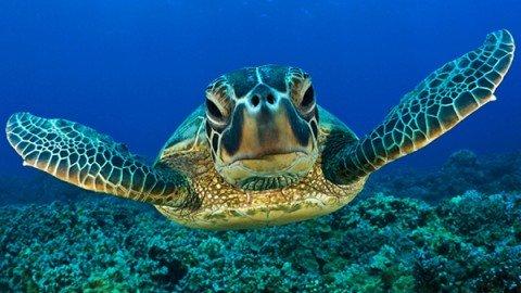 Il ritorno alle origini delle tartarughe marine