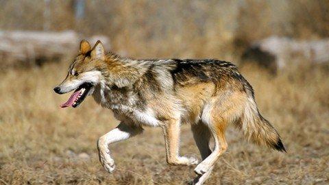 A Wolf at the door (parte II)