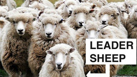 Effetto gregge: pro e contro dell'essere un po' pecore