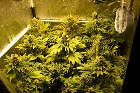 """Cannabis, Consulta: """"Coltivarla per uso personale resta reato"""""""