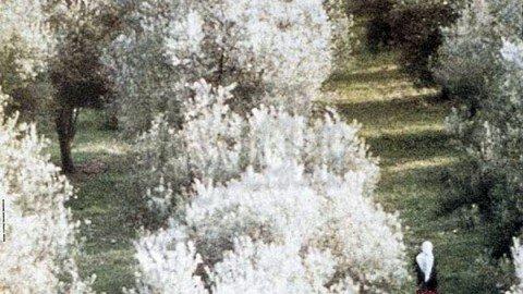 Sotto gli ulivi – Omaggio a Abbas Kiarostami