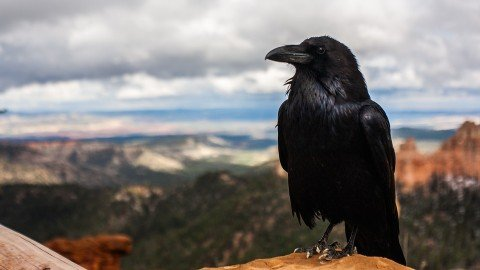 Eccellenze animali: l'intelligenza del corvo (parte II)