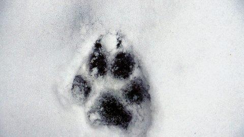Il nuovo piano di gestione per il lupo appenninico divide esperti e opinione pubblica