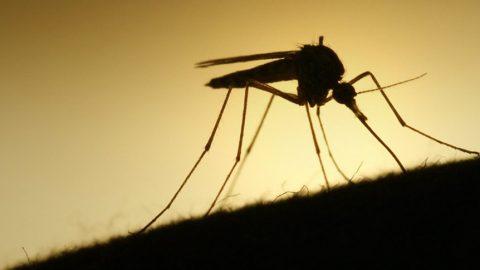 La zanzara e il suo pasto di sangue: perchè alcuni di noi sono più gustosi di altri?