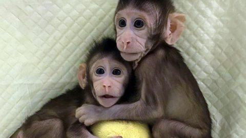 Zhong Zhong e Hua Hua, prime scimmie clonate con la tecnica della pecora Dolly
