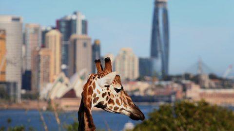 giraffa zoo sidney