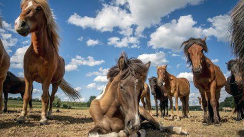 cavalli germania