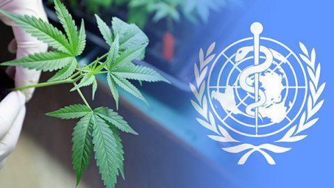 oms cannabis
